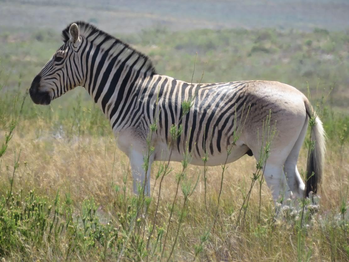 June 4, 1984: Extinct Animal Quagga Has Genes Cloned