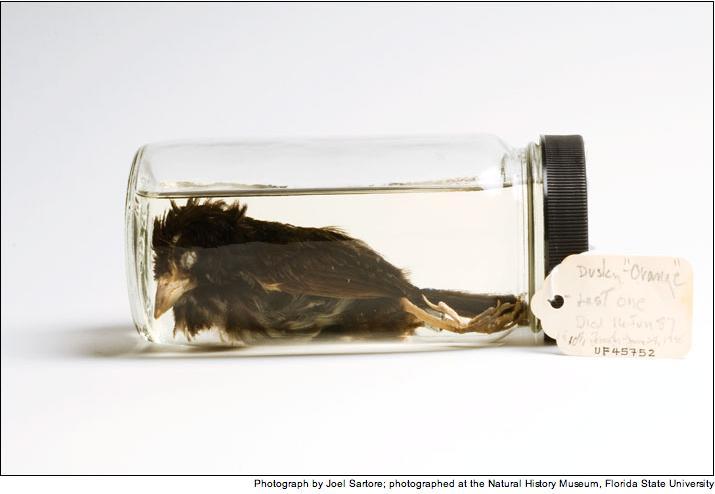 June 17, 1987: Dusky Seaside Sparrow Becomes Extinct