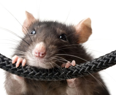 6471_RatBitesThroughCable