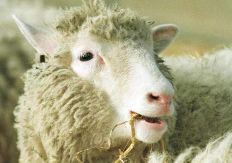 July 5, 1996: World's Most Famous (Cloned) Sheep Is Born